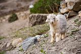 Cute Miniature Goat Horizontal