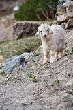 Cute Miniature Goat Vertical