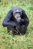Chimpanzee - Uganda