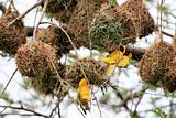 Yellow Weaver Bird - Wildlife Sanctuary - Uganda