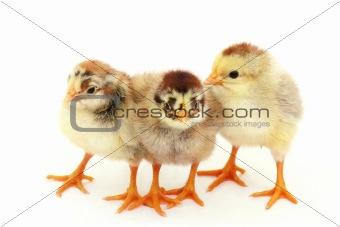 Three chicken on white. Insulation.