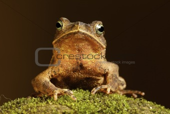 Toad on moss