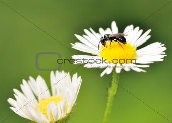 Carpenter Bee On A Flower