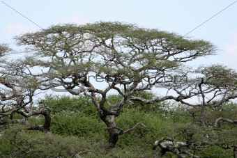 Acacia Tree - Tarangire National Park. Tanzania, Africa