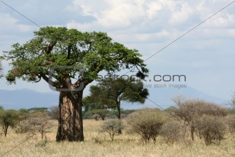 Baobab Tree - Tarangire National Park. Tanzania, Africa