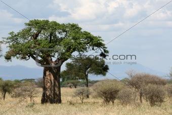 Baobab Tree - Tarangire National Park. Tanzania, Africa