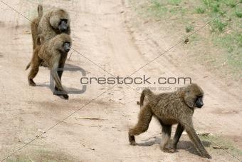Baboon -  Tanzania, Africa