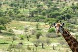 Giraffe - Tarangire National Park. Tanzania, Africa