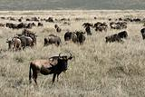 Wildebeest - Ngorongoro Crater, Tanzania, Africa