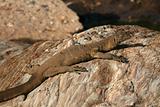 Monitor Lizard - Serengeti Safari, Tanzania, Africa