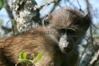 Baboon - Serengeti, Africa