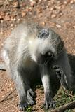 Vervet Monkey - Serengeti Safari, Africa