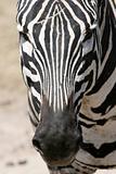 Zebra - Ngorongoro Crater, Tanzania, Africa