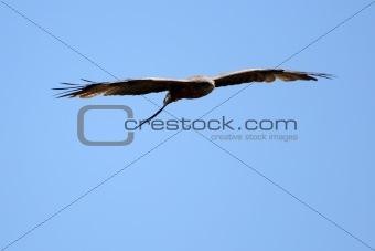 Black Kite - Ngorongoro Crater, Tanzania, Africa