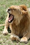 Lion - Serengeti Safari, Tanzania, Africa