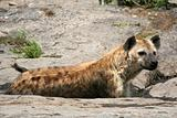 Hyena - Serengeti, Africa