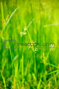 Green grass - shallow depth of field