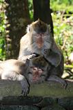 Monkey grooming another