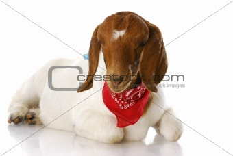 goat wearing bandanna