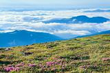 Rhododendron flowers in mourning cloudy mountain