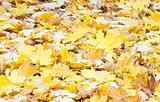 Yellow autumn maple leafs