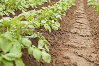 Crops - potatoes growing in rows