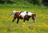 Pinto horse in a yellow field