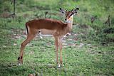 Imapala Antelope - Maasai Mara Reserve - Kenya