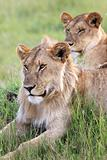 Lion Couple - Maasai Mara Reserve - Kenya