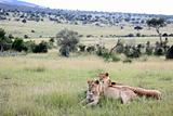 Lion Couple - Maasai Mara Reserve - Kenya