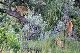 Lion Cub - Maasai Mara Reserve - Kenya