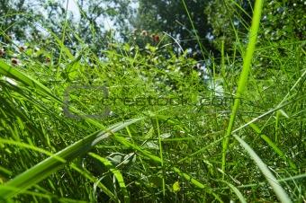 Green furry tall grass closeup
