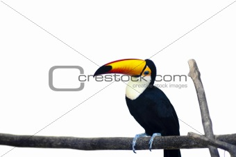 Beautiful Toucan on White Background