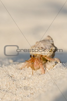 Hermit crab Maldives