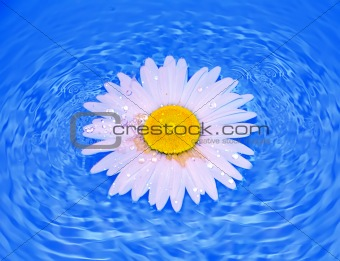 Chamomile with dew drops