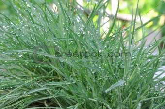 green grass with dew drops in summer day