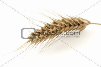 Single wheat spike