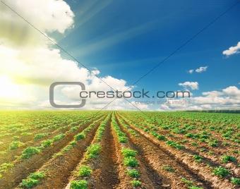 potato field under blue sky landscape