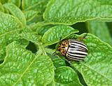 Colorado bug on potato leaves