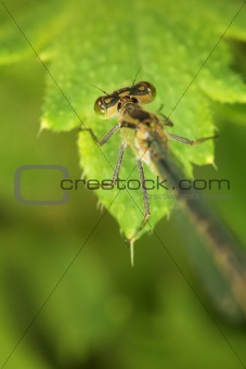 Adult dragonfly on green plant