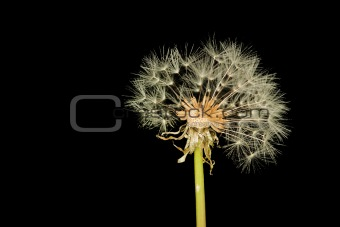 Grown bald dandelion isolated on black background