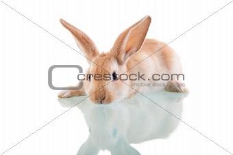 beautiful bunny lying opposite