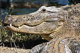 Smiling Aligator