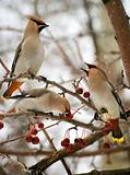 Three cedar waxwings