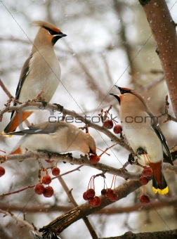 Three cedar waxwings