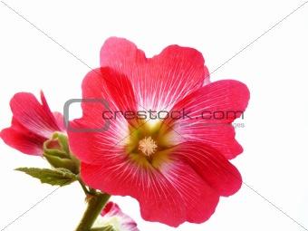 Beautiful flower on a white mallow. Insulation.