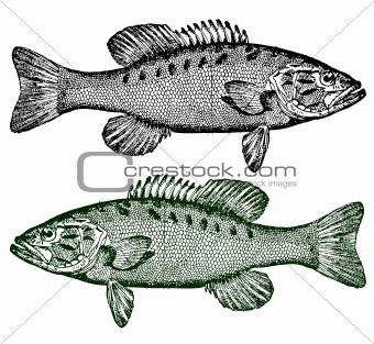 Vector Smallmouth Bass