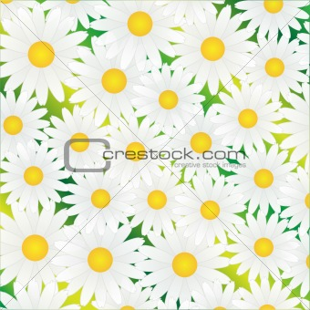 Chamomile white