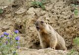 Young marmot sits near a hole