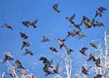Flock of waxwings